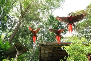 Three macaws taking flight