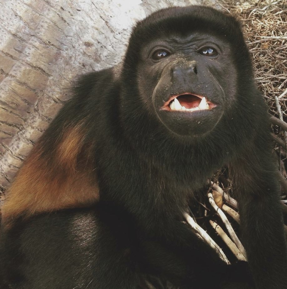 Congito the howler monkey