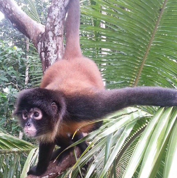 Winkie the spider monkey