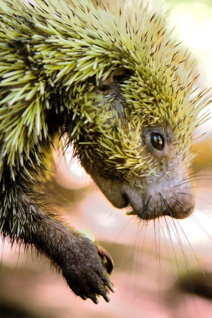 Mr. Cuddles the Porcupine