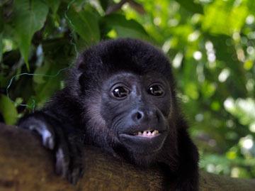 Tugo the howler monkey