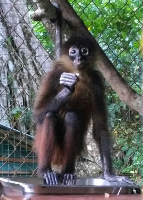 New spider monkey at the sanctuary