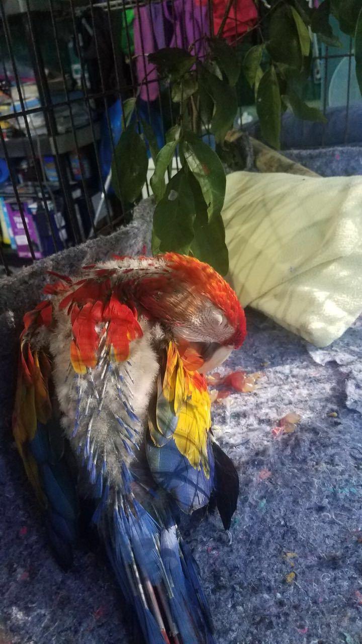 Iago the baby macaw preening and sleeping in the sun